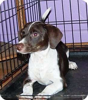 Dachshund Mix Puppy for adoption in West Los Angeles, California - Fergus