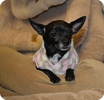 Chihuahua Dog for adoption in Chandler, Arizona - Olive Oil