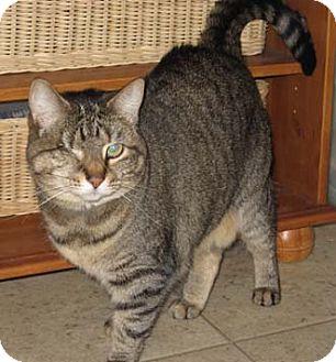 Domestic Shorthair Cat for adoption in Merrifield, Virginia - Winky