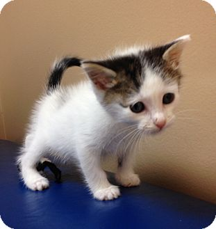British Shorthair Kitten for adoption in Miami, Florida - Tifon