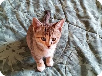 Domestic Shorthair Kitten for adoption in Woodstock, Ontario - Victoria