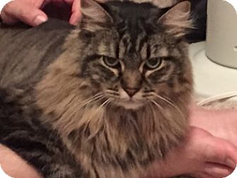 Maine Coon Cat for adoption in Absecon, New Jersey - Christopher
