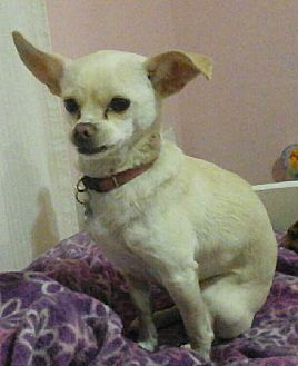 Japanese Chin/Chihuahua Mix Dog for adoption in Van Nuys, California - Bubbles