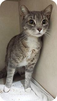Domestic Shorthair Cat for adoption in Westminster, California - Vista