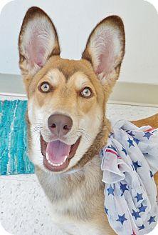 Shepherd (Unknown Type)/Husky Mix Dog for adoption in Chambersburg, Pennsylvania - Kallie