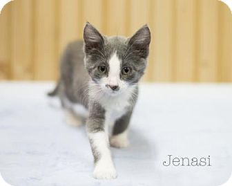 Domestic Shorthair Kitten for adoption in West Des Moines, Iowa - Jenasi