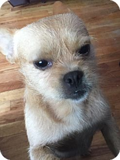 Brussels Griffon/French Bulldog Mix Dog for adoption in Flushing, Michigan - Shrek