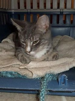 Domestic Shorthair Cat for adoption in Harrisburg, Pennsylvania - Jojo (teenage male)