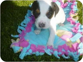 Terrier (Unknown Type, Small) Mix Puppy for adoption in Eaton, Indiana - punk
