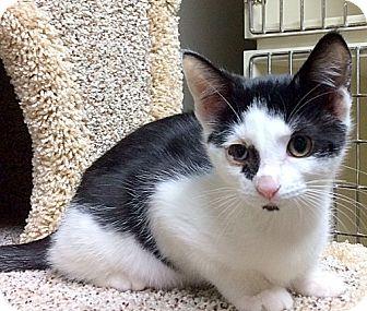 Domestic Shorthair Kitten for adoption in Creston, British Columbia - Opie