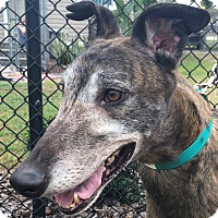 Greyhound Dog for adoption in Longwood, Florida - LK's Power Up