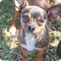 Adopt A Pet :: Lou - Austin, TX