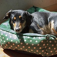 Hound (Unknown Type)/Dachshund Mix Dog for adoption in Olympia, Washington - Betty W
