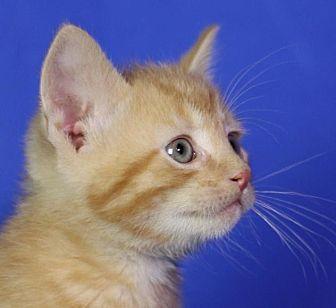 Domestic Shorthair Kitten for adoption in Winston-Salem, North Carolina - Thoreau