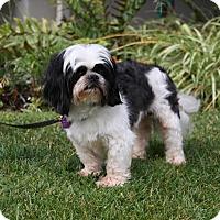 Adopt A Pet :: SYLVESTER - Newport Beach, CA