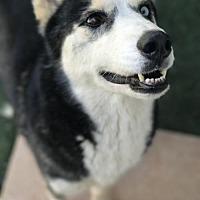 Adopt A Pet :: Athena - Guthrie, OK