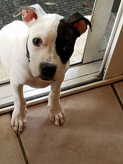 Terrier (Unknown Type, Medium) Mix Puppy for adoption in Jerseyville, Illinois - Tillie