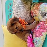 Adopt A Pet :: Sasha - Scottsboro, AL