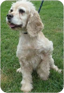 Cocker Spaniel Dog for adoption in Sugarland, Texas - Erin