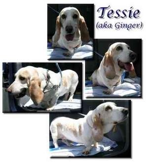 Basset Hound Dog for adoption in Marietta, Georgia - Tessie