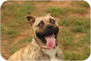 American Pit Bull Terrier/American Pit Bull Terrier Mix Dog for adoption in Stillwater, Oklahoma - Mae West