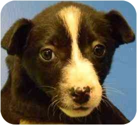 Labrador Retriever/Boxer Mix Puppy for adoption in Kansas City, Missouri - Courtesy List-Maggie