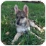 Photo 1 - Australian Shepherd/German Shepherd Dog Mix Puppy for adoption in Largo, Florida - Jacalyn - German/Aussie Mix