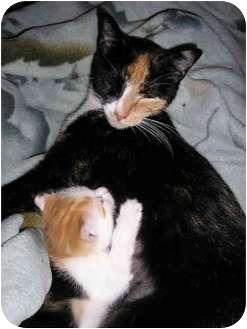 American Shorthair Cat for adoption in New York, New York - Lap Cat and kitten