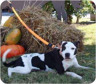 American Pit Bull Terrier Mix Dog for adoption in Killen, Alabama - Twister