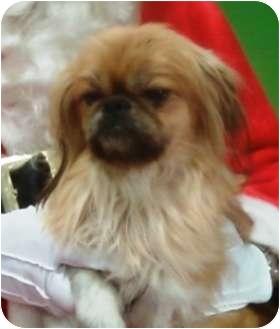 Pekingese Mix Dog for adoption in Duluth, Georgia - Cookie