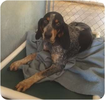 Bluetick Coonhound Mix Dog for adoption in Haughton, Louisiana - Sabine kill shelter (Polly)