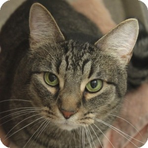 Domestic Shorthair Cat for adoption in Naperville, Illinois - Jax
