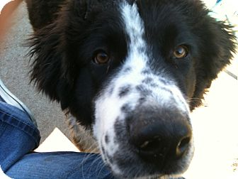 Newfoundland/Great Pyrenees Mix Dog for adoption in Broomfield, Colorado - Joey