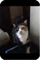 Domestic Shorthair Cat for adoption in Youngstown, Ohio - Gizmo