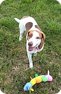 Setter (Unknown Type)/Beagle Mix Dog for adoption in Hagerstown, Maryland - Charlotte