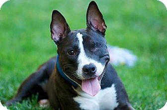 Pit Bull Terrier Mix Dog for adoption in Sacramento, California - Amy