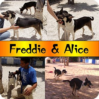 Basenji/Shepherd (Unknown Type) Mix Dog for adoption in Homestead, Florida - Freddie & Alice