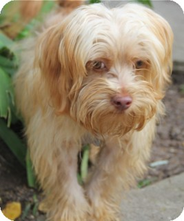 Maltese/Poodle (Miniature) Mix Dog for adoption in Norwalk, Connecticut - Sam