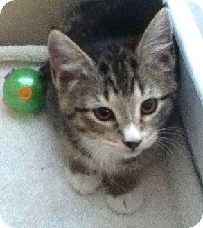 Domestic Shorthair Kitten for adoption in Dallas, Texas - Sparkle