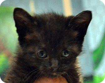 Domestic Shorthair Kitten for adoption in Searcy, Arkansas - Friskie