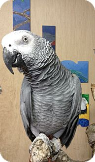 African Grey for adoption in Woodbridge, New Jersey - Macho