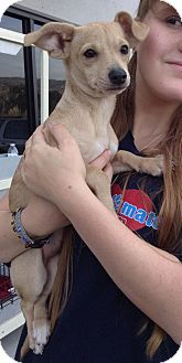 Jack Russell Terrier/Chihuahua Mix Dog for adoption in Santa Ana, California - Dora