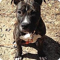 Adopt A Pet :: Bella - Clarksburg, MD
