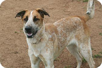 Cattle Dog/Shepherd (Unknown Type) Mix Dog for adoption in El Cajon, California - Clark