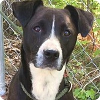 Adopt A Pet :: Andy - Brattleboro, VT