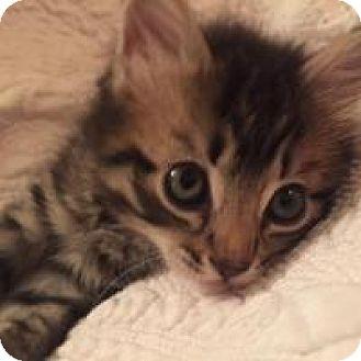 Domestic Shorthair Kitten for adoption in Reston, Virginia - Karma