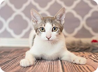 Domestic Shorthair Cat for adoption in Sterling Heights, Michigan - Olaf - ADOPTED