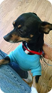 Chihuahua/Miniature Pinscher Mix Dog for adoption in Palestine, Texas - Roxie