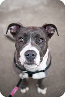 Staffordshire Bull Terrier/Pit Bull Terrier Mix Dog for adoption in Villa Park, Illinois - North