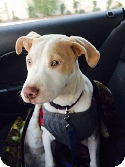 Pointer/Pit Bull Terrier Mix Puppy for adoption in Houston, Texas - Casper